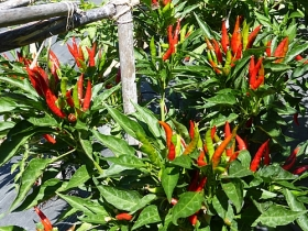 Chili pepper seeds, Thai Red Hot